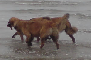 Three leonbergers fishing 1