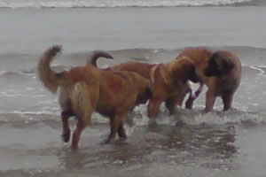 three leonbergers fishing 2