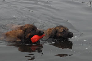 Boomer and Okie Leonberger water work