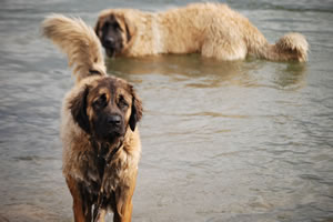 Okie and Elsa Leonberger swimming