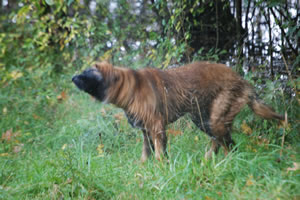 Okie Leonberger drying out