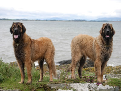 Two wet leonberger dogs